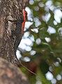 Rock Agama Psammophilus dorsalis.jpg