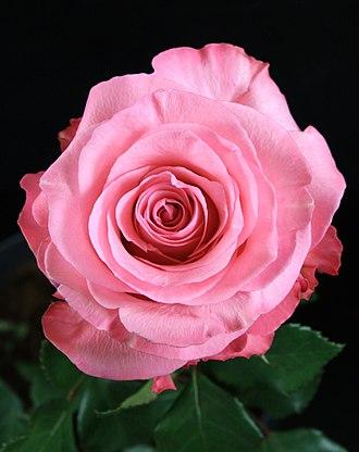 Conquista rose - Close-up of flower