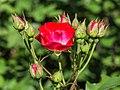 Rosa 'La Grande Parade' (d.j.b) 01.jpg