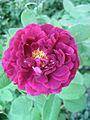 Rosa Tuscany Superb 1.jpg