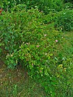 Rosa centifolia 001.JPG