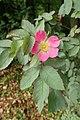 Rosa glauca kz02.jpg