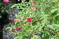 Rosa rugosa F. J. Grootendorst 8zz.jpg