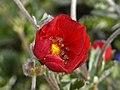 Rosaceae - Potentilla nepalensis.jpg