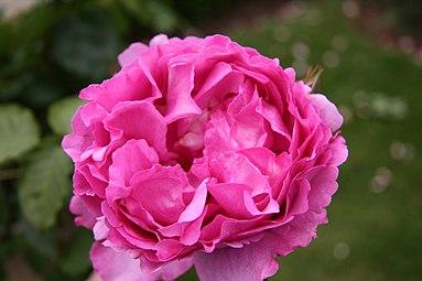 Rose Yves Piaget 20070601.jpg