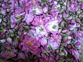 Rose de Dadess MarocPh.R.A.jpg