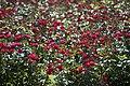 Roses 4891485102.jpg