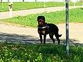 Rottweiler - panoramio.jpg