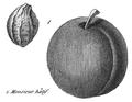 Rozier - Cours d'agriculture, tome 8, pl. 31, monsieur hâtif.png