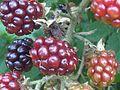 Rubus fruticosus wetland 3.jpg