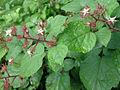 Rubus phoenicolasius 5449876.jpg