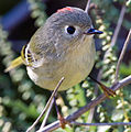 Ruby-crowned Kinglet1.jpg