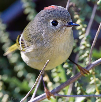 Ruby-crowned kinglet - Close-up on head