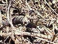Rufous-crowned Sparrow Leslie Canyon NWR Douglas AZ 2017-11-24 12-35-48 (39042925712).jpg