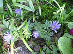 Ruhland, Grenzstr. 3, Balkan-Windröschen im Garten, blühend, Frühling, 03.jpg