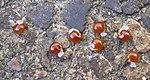 Ruhland, Grenzstr. 3, Hohler Lerchensporn, Samen, Frühling, 01.jpg