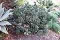 Ruscus aculeatus - Leaning Pine Arboretum - DSC05825.JPG