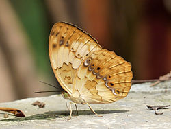 Rustic Cupha erymanthis by kadavoor.JPG