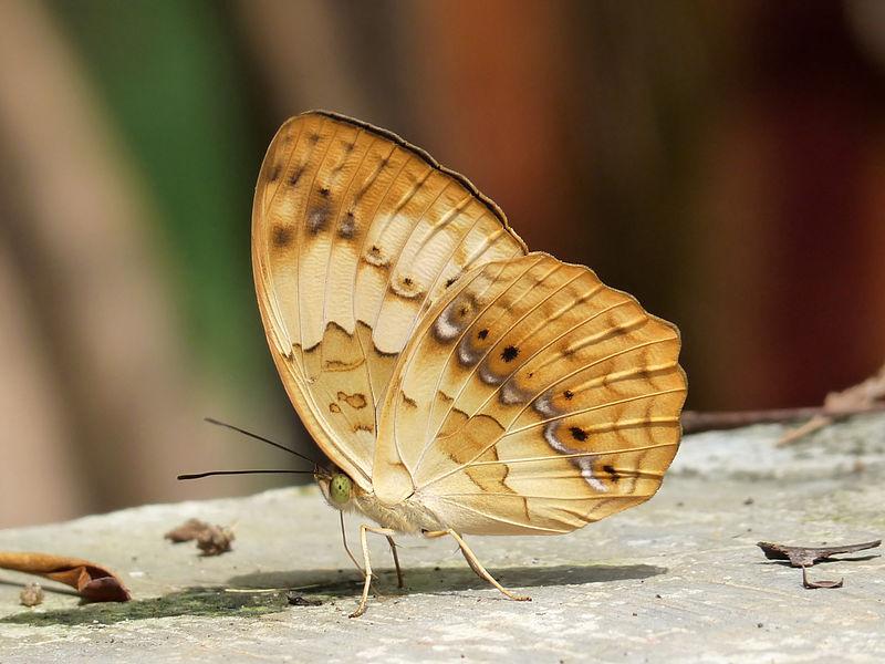 File:Rustic Cupha erymanthis by kadavoor.JPG
