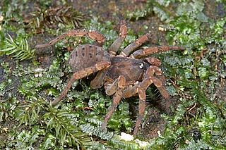 Liphistiidae Family of spiders