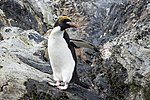 SGI-2016-South Georgia (Cooper Bay)–Macaroni penguin (Eudyptes chrysolophus) 01.jpg