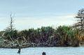 Sabal Minor Palms on Monkey Island, NC.jpg