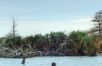 Currituck National Wildlife Refuge - Sabal Minor Palms on Monkey Island, NC