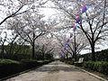 Sakura-namiki meiwa town.jpg