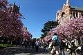 Sakura @ University of Washington, Seattle (7055911783).jpg