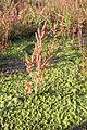 Salicornia europaea-(Queller) 01.jpg