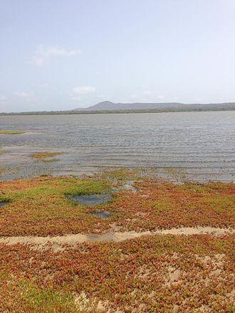Kentish plover - Salina do Porto Ingles, the habitat of Kentish Plovers in Maio, Cape Verde