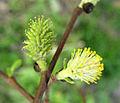 Salix-tarraconensis.jpg