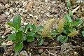 Salix cashmiriana kz03.jpg