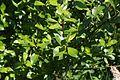 Salix phylicifolia I9677 Kiiltopaju C.JPG