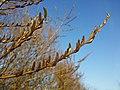 Salix purpurea sl16.jpg