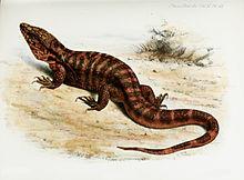 Tupinambis rufescens – Wikipedia tiếng Việt
