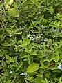 Salvia caymanensis (Scott Zona) 002.jpg
