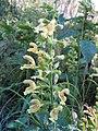 Salvia glutinosa1Juan Sanchez.jpg