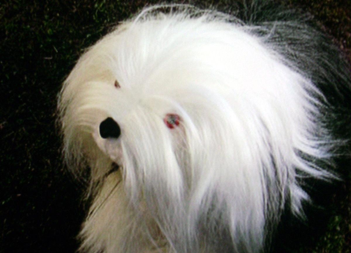 Samson (hond) - Wikipe...