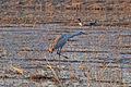 Sandhill Crane (Grus canadensis) (12979994745).jpg
