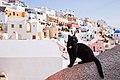 Santorini Cat. Background- view on Firostefani. Santorini island (Thira), Greece.jpg