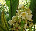 Sauria madrensis (9502696655).jpg