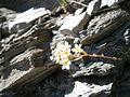 Saxifraga paniculata02.jpg