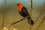 Scarlet-headed Blackbird - Pantanal - Brazil MG 9585 (23262522193).jpg