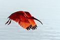 Scarlet Ibis - Corocoro Colorado (Eudocimus ruber) (12471114643).jpg