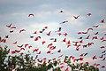 Scarlet Ibises (5535991204).jpg