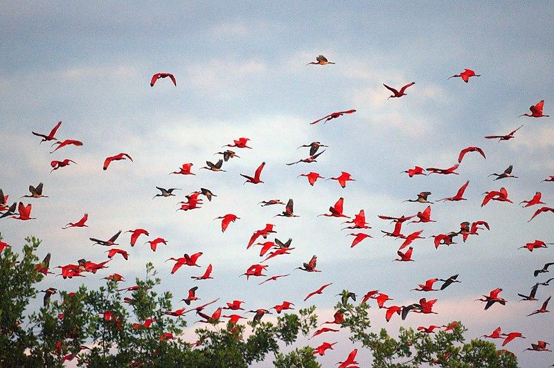 File:Scarlet Ibises (5535991204).jpg
