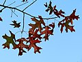 Scarlet Oak (31075530445).jpg