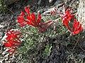 Scarlet loco, Astragalus coccineus (32104948711).jpg