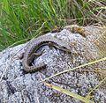 Scattercreek lizard.jpg